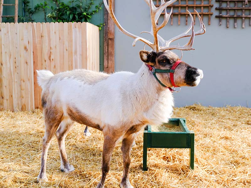 Reindeer Festival at Swansons Nursery Seattle WA