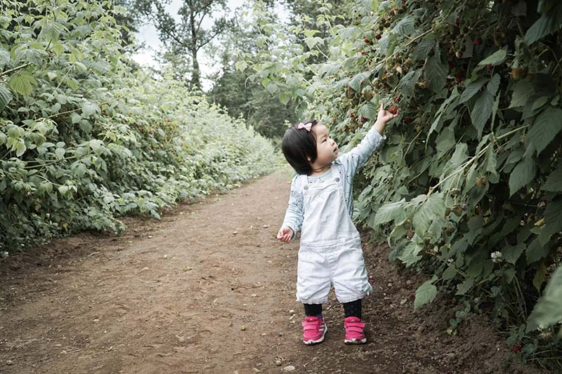 Remlinger Farms Raspberry Picking With Young Toddler